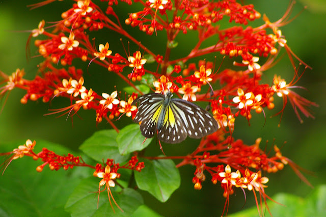 Pareronia valeria lutescens BUTLER, 1879, femelle. Sepilok, 10 août 2011. Photo : J.-M. Gayman