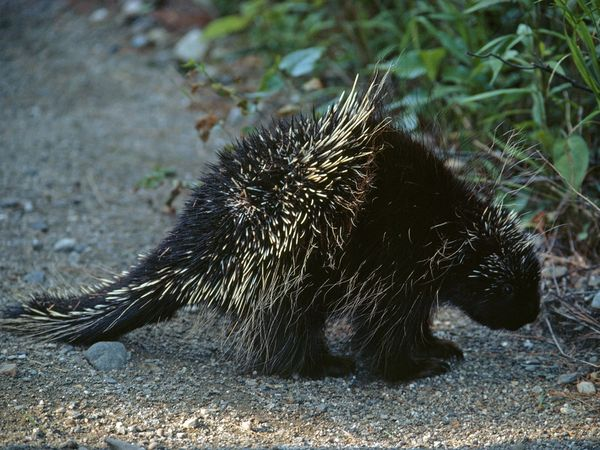 Porcupine | Free National Geographic Pix