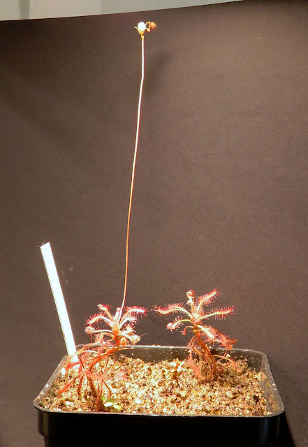 Drosera_grantsaui_group.jpg