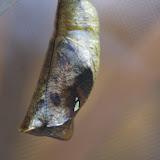 Chrysalide de Caligo oileus oileus C. Felder & R. Felder, 1861. Paris, 27 décembre 2015. Photo : J.-M. Gayman