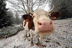 SNIFF   Vache de race montbéliarde aux premières neiges