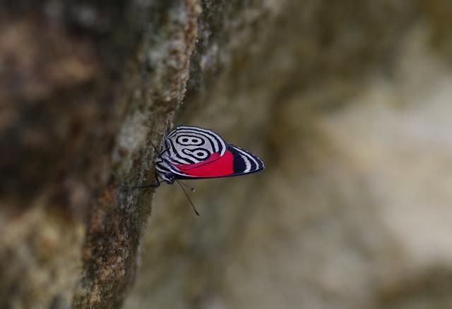 Diaethria clymena colombiana (Viette, 1958). Río Cravo Sur, Sendero Ecológico La Virgen de La Peña, El Morro, 640 m (Casanare, Colombie), 6 novembre 2015. Photo : J.-M. Gayman