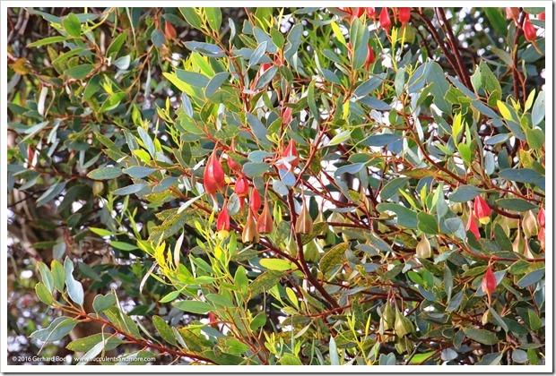 160321_SLOBG_0018_Eucalyptus-forrestiana