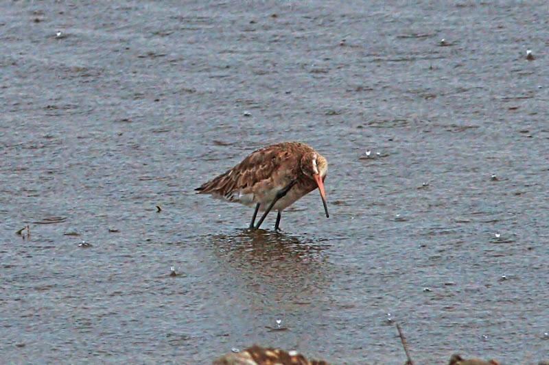 Sitar de mal Comana ploaie birdwatching pasari