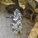 À gauche : Hypercompe laeta (Walker, 1855). À droite : Halysidota orientalis Rothschild, 1909. Mount Totumas, 1900 m (Chiriquí, Panamá), 21 octobre 2014. Photo : J.-M. Gayman