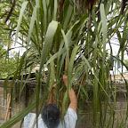 Cortando hojas de cañaflecha