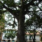 Ceiba de San Gil