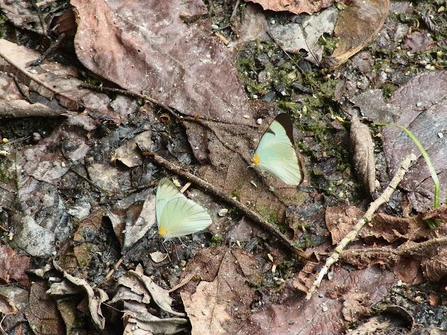 Melete lycimnia aelia (C. Felder & R. Felder, 1861). Quebrada Chirajara, 1050 m (Cundinamarca, Colombie), 25 novembre 2015. Photo : J. Michel