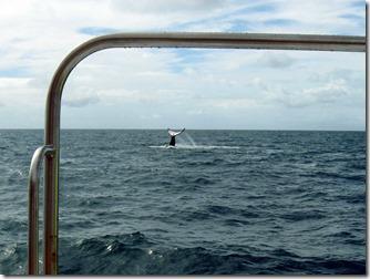 abrolhos-baleia-jubarte-1