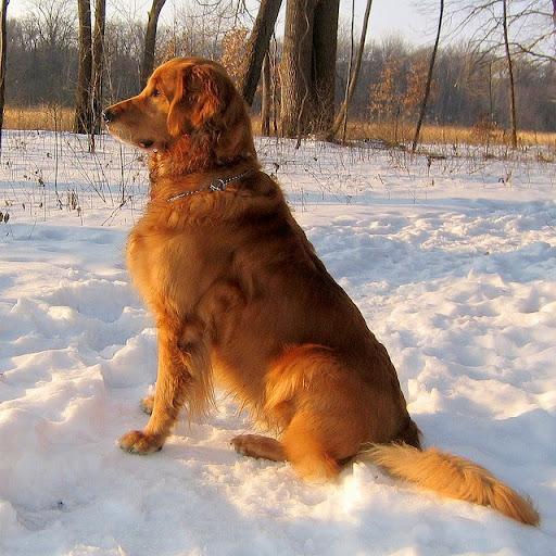 Golden Retriever Top 10 Breeds Of Dogs Best With Kids