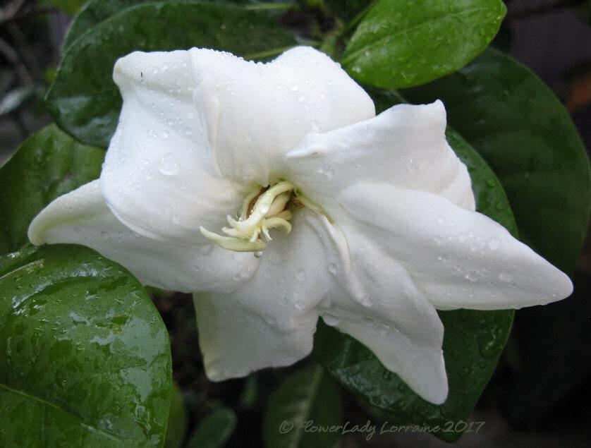 [06-17-tahitian-gardenia%5B5%5D]