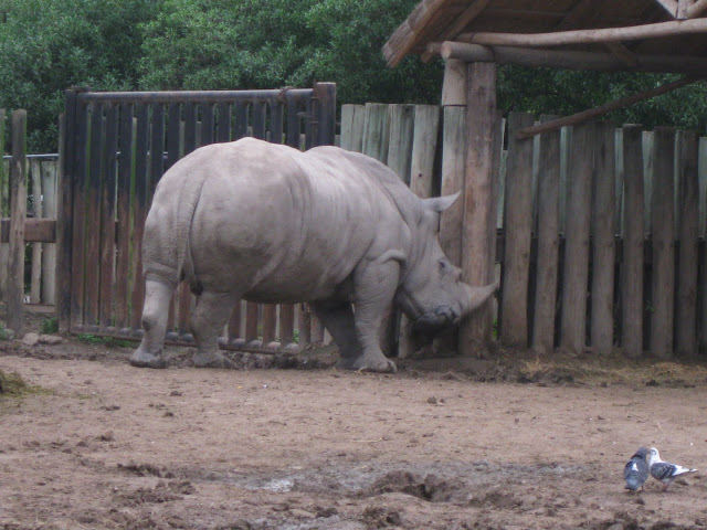 He was playing hide and go seek with the other rhinos
