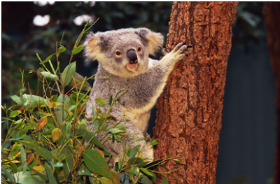 Koala Amazing Facts