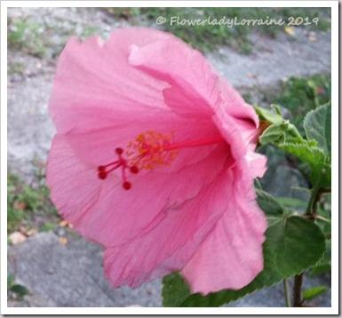 12-31-pink-hib