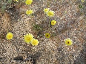 Desert Dandelions