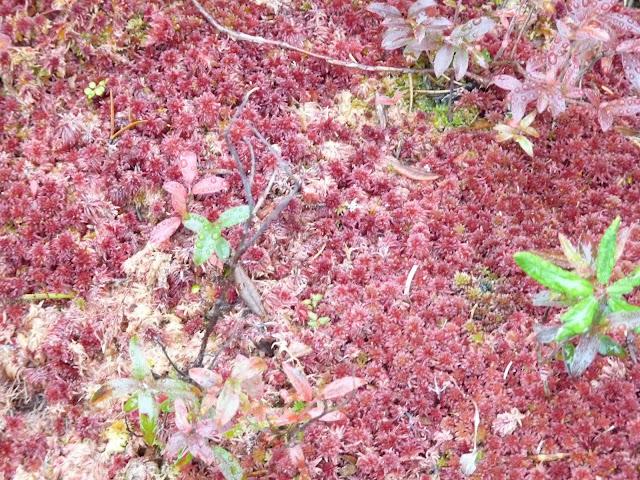 Sphagnum capillifolium moss?
