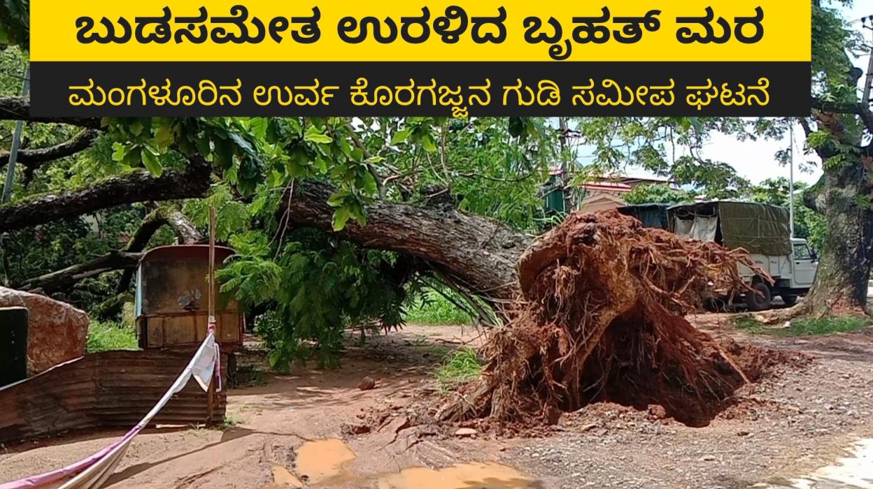 Mangalore- ಉರ್ವದಲ್ಲಿ ಬುಡಸಮೇತ ಉರಳಿದ ಬೃಹತ್ ಮರ ( video)