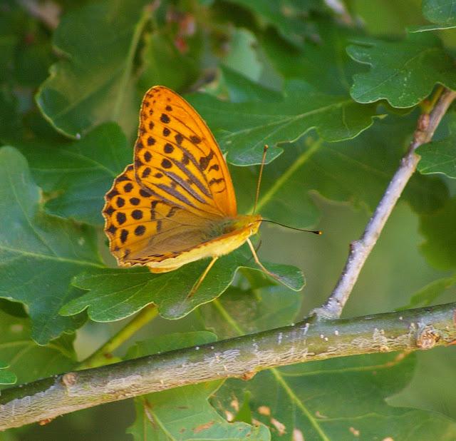 Argynnis paphia LINNAEUS, 1758, mâle. Les Hautes-Lisières, 7 juillet 2010. Photo : Jean-Marc Gayman