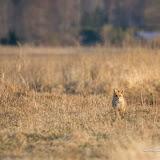 Лисица (Vulpes vulpes)