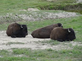 2018.07.19-017 bisons des plaines d'Amérique