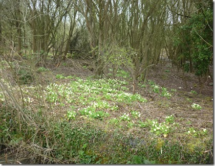 2 primroses on old limekiln area
