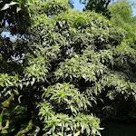 Arboretum de la Vallée-aux-Loups : andromède panaché