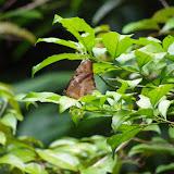 Morpho (Iphimedeia) telemachus telemachus (L., 1758). Piste de Coralie, 1er novembre 2012. Photo : J.-M. Gayman