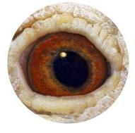 Photo: El ojo de un gran macho reproductor raza: Devriendt/Meuleman.