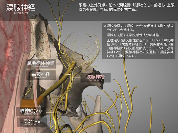 2014-29a04涙腺神経2048-1536.png