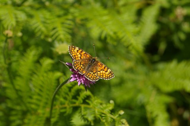 Mellicta dejone GEYER, 1832, femelle. Forêt de Ramondens, Montagne Noire, 950 m (Tarn), 11 juin 2005. Photo : Jean-Marc Gayman