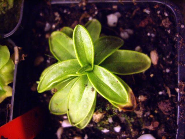photos de mes orchidées en fleur - Page 2 IMGP4812