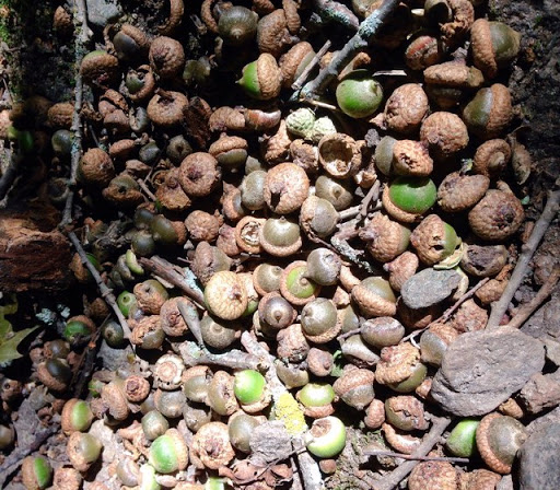 Acorns on the singletrack. Looks like a bumper crop this year!