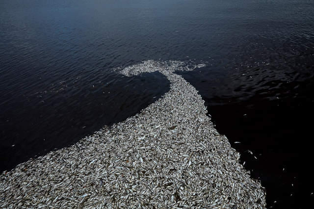 Wind and currents push thousands of dead fish together in a massive fish kill during the red tide bloom off the coast of Sanibel, Florida, 8 August 2018. Photo: Ben Depp / National Geographic