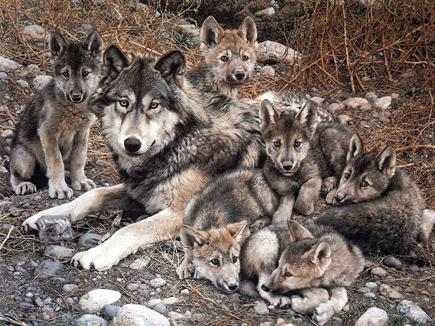 Wolf-with-Cubs-animal-cubs-29105428-1024-768