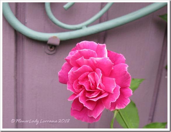 05-21-carnation-rose