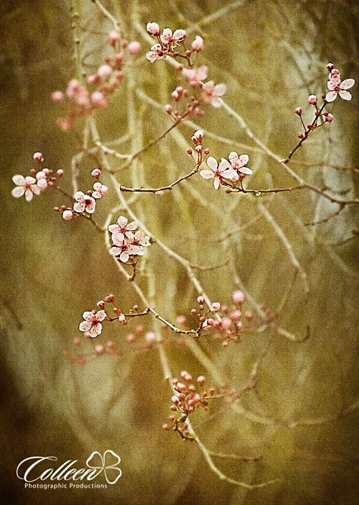 Cherry BlossamsA, Federal Way Photographer
