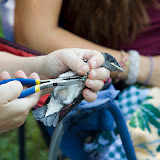 Purple Martin Banding Hammonasset Park July 2012 - BC3G6051.jpg