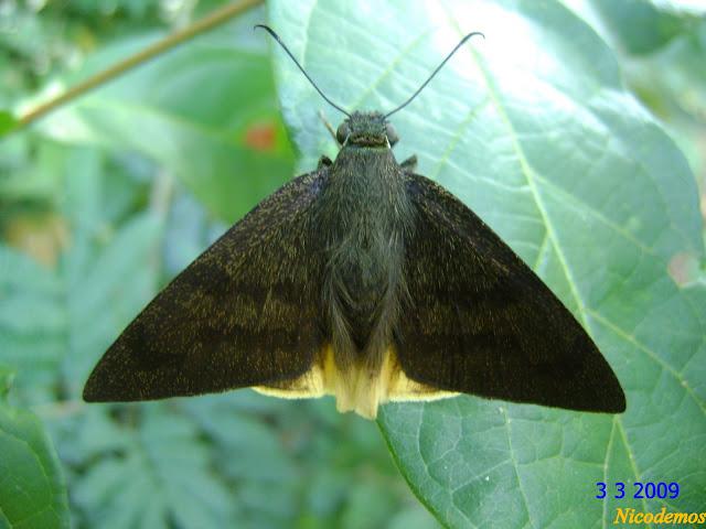 Astraptes anaphus CRAMER, 1777. Pitangui (MG, Brésil), 3 mars 20009. Photo : Nicodemos Rosa
