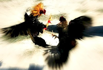 Balinese-Cockfighting.jpg
