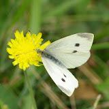 Pieris rapae L., 1758, femelle. Les Hautes-Lisières (Rouvres, 28), 21 septembre 2011. Photo : J.-M. Gayman