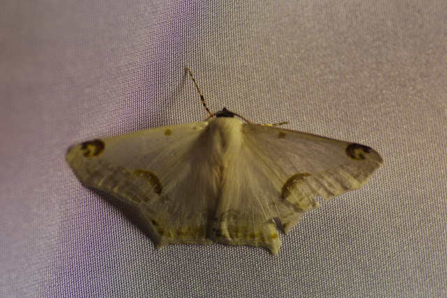 Sericoptera mahometaria (Herrich-Schäffer, 1853). Mount Totumas, 1900 m (Chiriquí, Panamá), 24 octobre 2014. Photo : J.-M. Gayman
