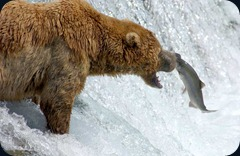 katmai-alaska_bear_catches_fiish_800