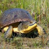 Blanding's Turtle - Joe Crowley