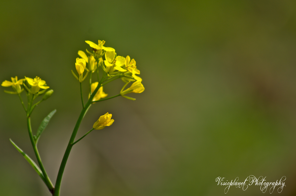 Mustard Flower by Sudipto Sarkar on Visioplanet
