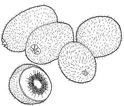[kiwi.png%5B2%5D]