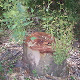 eucaliptus - 008.JPG