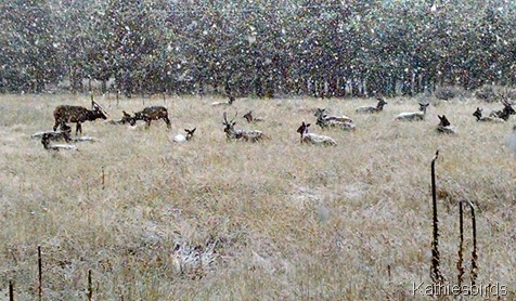 13. 10-22-15 elk in snow