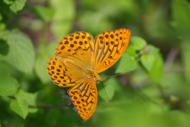 Argynnis paphia immaculata BELLIER, 1862. Col de Bacinu (800 m), Corse du Sud, août 2006. Photo : J.-M. Gayman