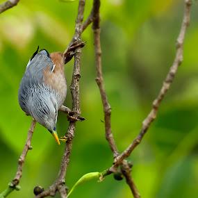 Chestnut Starling by Shovan Sam - Animals Birds ( sigma, nature, birds, west bengal, canon )