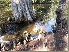 20151030_bald cypress knees (Small)